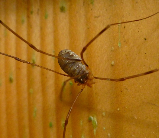Opilio canestrinii female